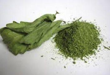 Stevia – che cos'è? Stevia: proprietà utili, la coltivazione, la cura