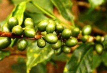 Wie für Gewichtsverlust Rohkaffee kochen: Regeln und Tipps