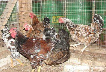 Lievens kurczaki: wygląd zewnętrzny, cech charakterystycznych, odróżniających