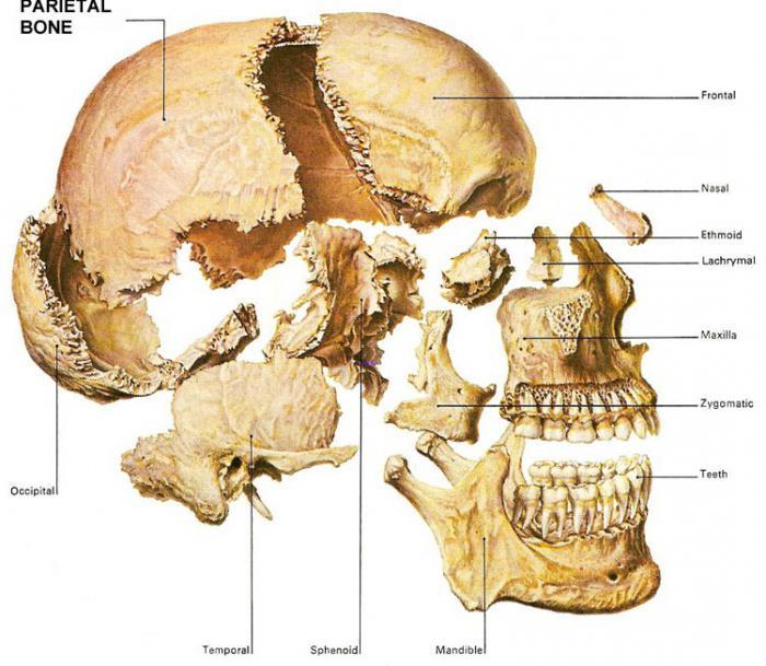Schädelknochen: Anatomie des Menschen