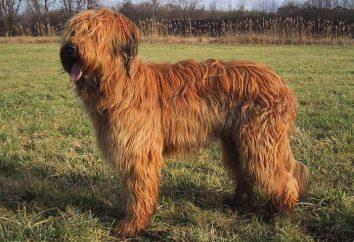 Briard – pies rasy. Charakter Briard, zdjęcia, opis rasy, postawa wobec dzieci