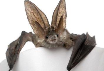 Bat: wampir, czy nie?