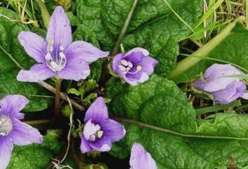 nightshade piante medicinali: mandrake e belladonna