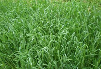 seigle semis de printemps peut augmenter la fertilité du sol à plusieurs reprises