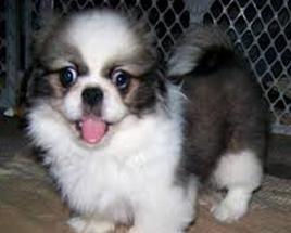 Kieszeń pies: Rasy i szczególną uwagą. Jakie rasy są małe psy kieszeni?