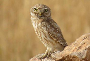Brownies gufi. Owl – foto. rapace notturno