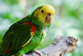 Amazon papugi: Charakterystyka treści, opisu i ciekawostki
