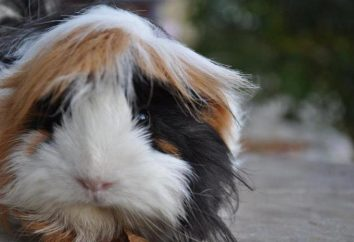 cochon Guinée Haired: vue d'ensemble, les caractéristiques des soins