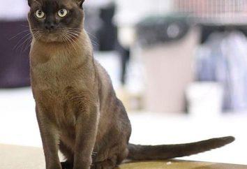raza de gato birmano: una descripción de la naturaleza, el precio