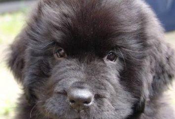 Die Art und kluger Hund – Neufundland