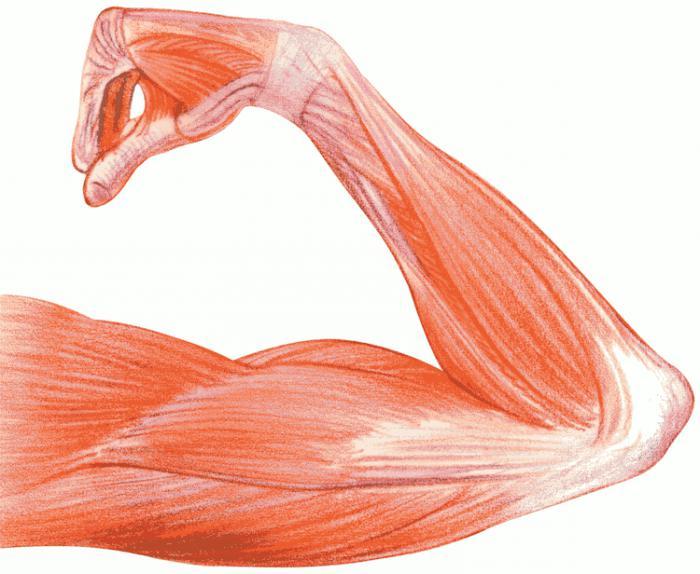 tejido muscular liso: características estructurales. Las propiedades ...