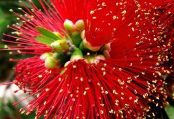 Cepillo rojo: la aplicación, las propiedades únicas