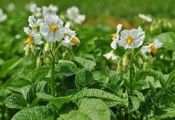 Le proprietà curative dei fiori di patate. Controindicazioni nell'applicazione di fiori di patate