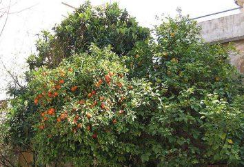 laranja amarga – isto é, um animal ou planta?