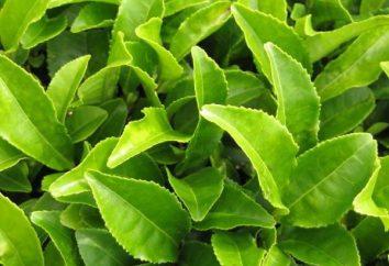 Gibt es Koffein im grünen Tee und wie es um die Gesundheit beeinflussen kann