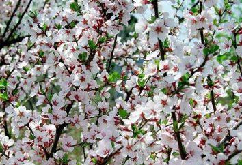 Feltro ciliegia: la semina e la cura