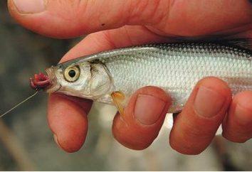 """Shamayka – ryba zwana """"królewski"""""""