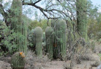 Où est la patrie des cactus, et ce qu'ils peuvent y croître