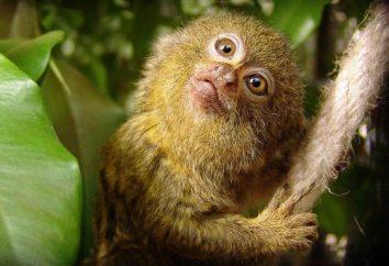 Dwarf Affen: ein wenig über die Art und Weise des Lebens in der Natur und in der Gefangenschaft