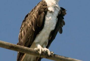 ave de rapina – em uma área natural vidas Osprey?