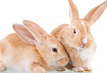 Dlaczego sen z zająca lub królika? Co marzy martwego zająca?