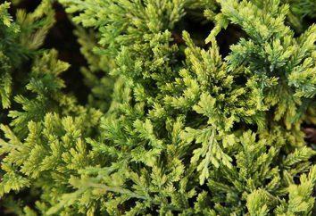 Juniperus oro Carpet: caratteristiche e l'impiego