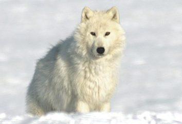 Polar Wilk: opis, siedlisko, zdjęcia