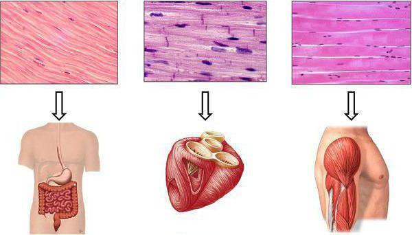 Las funciones del tejido muscular y los tipos de estructura