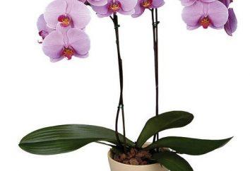 Dites-nous comment faire revivre une orchidée avec des feuilles fanées et les racines de la mort