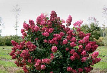 """Ortensia """"SIMS Ed"""": descrizione, caratteristiche, semina e cura in campo aperto"""
