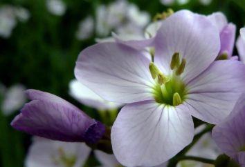 Kitel: użyteczne właściwości roślin
