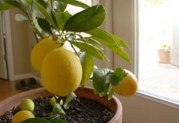 Lemon Pavlovsky: opieka, zdjęcie