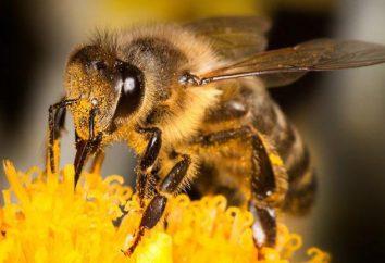Northern Bee: szczególnie użyteczne właściwości miodu i popularności