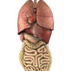 Emplacement des organes internes et leurs caractéristiques