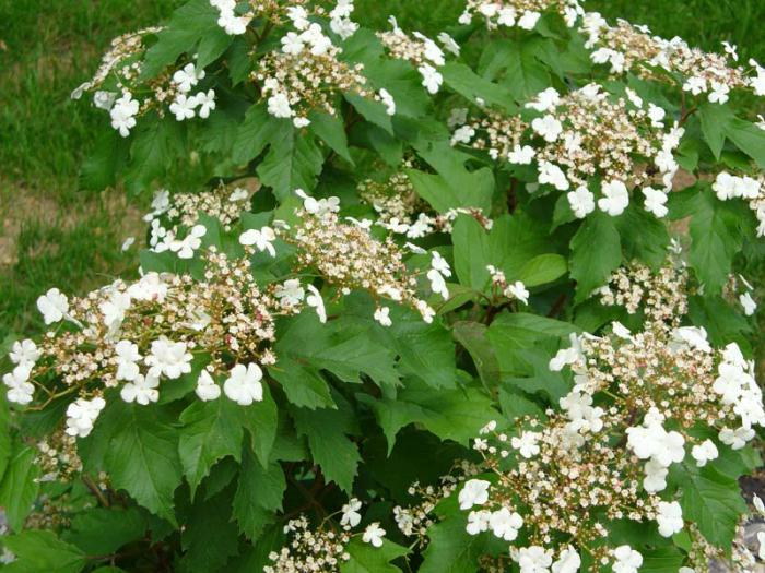 Arbusti da fiore per il giardino arbusti ornamentali - Arbusti da giardino ...