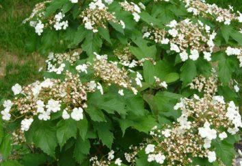 Les arbustes à fleurs pour le jardin. arbustes d'ornement