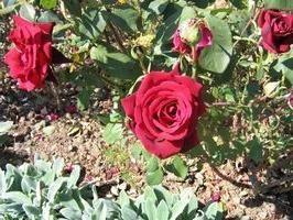 Sekryty giardinaggio: trapiantare le rose in autunno