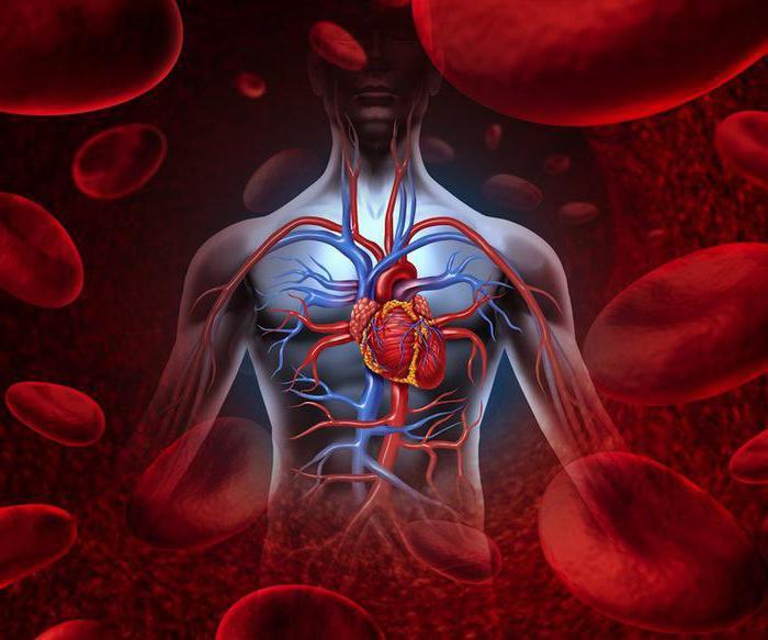 Kreislauforgane: die Eigenschaften, Funktionen. Krankheiten des ...