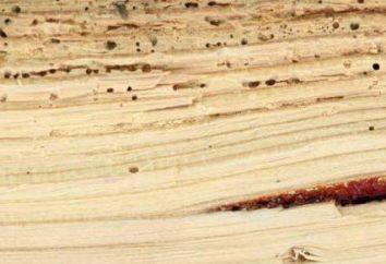 Woody bug ou arbre vert pue: il ressemble, ce qu'il mange