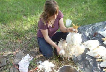 Como arrancar galinhas. Algumas dicas proprietários de aves