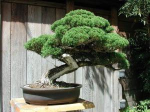 Bonsai: jak rozwijać się z nasion. Uprawa bonsai z sosny, dębu, klonu