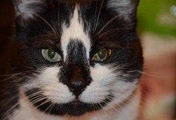 Cancer chez les chats: symptômes et traitement