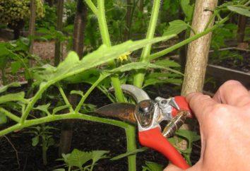 tomates pasynkovanie dans le champ ouvert. règles fondamentales