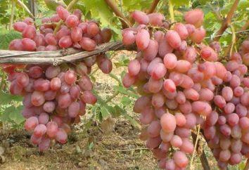 Uve Helios: Descrizione, semina, coltivazione, recensioni