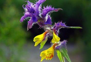 Fiore Ivan da Marja: piante nelle nostre foreste