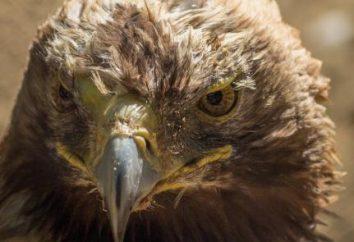 Aquila imperiale – l'aquila, che è incluso nel Libro Rosso. Boneyard: descrizione con foto