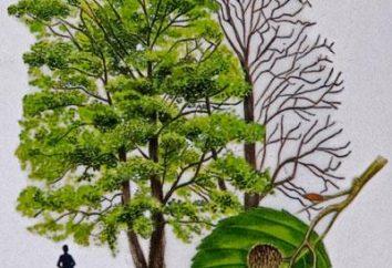 Alder albero – un guaritore indispensabile e la fonte primaria di energia vivente