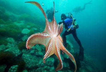 I più misteriosi abitanti del mare: il polpo gigante