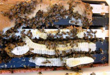 Karmienie pszczół syrop cukrowy w zimie: zasad i proporcji