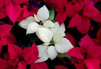 Come arrivare a fiorire puansetiyu? fiori in vaso: la cura, il contenuto